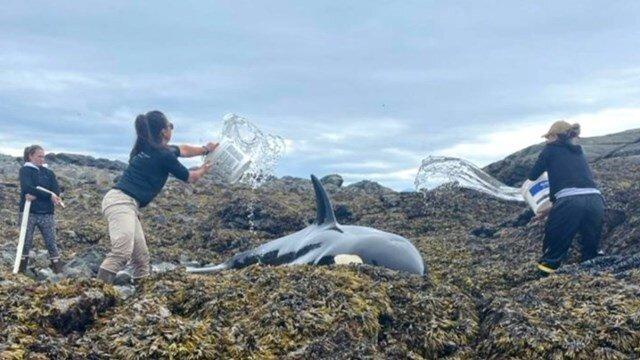 salvaron a baldazos de agua a una orca varada