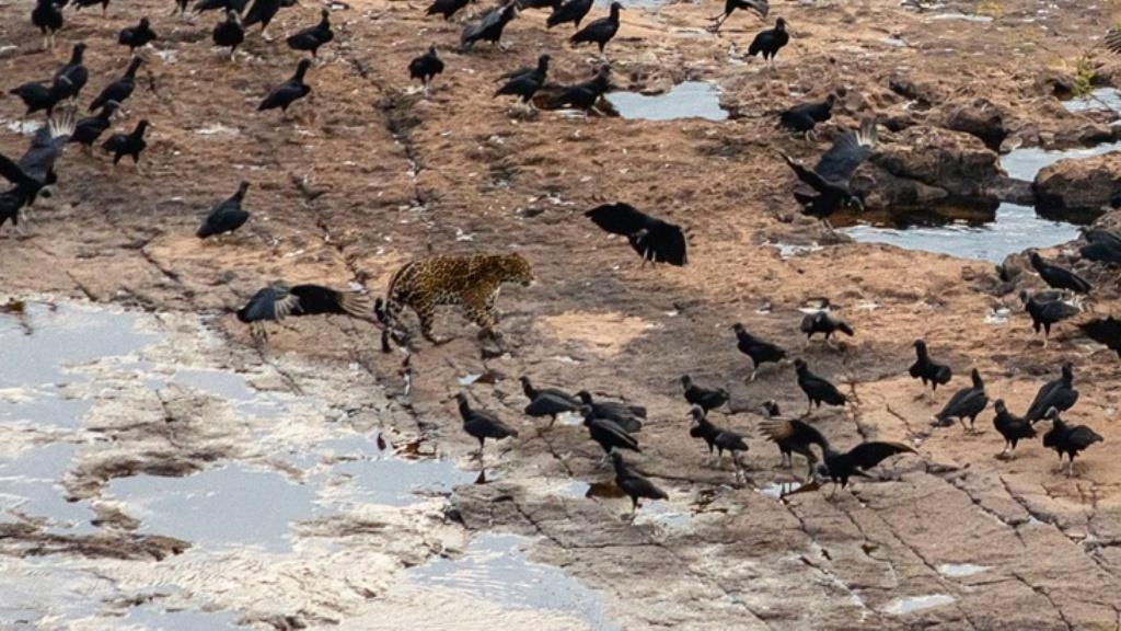 Cataratas del Iguazú   Fotografiaron a un yaguareté en el agua y rodeado de pájaros