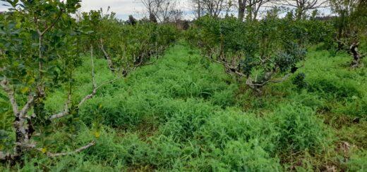 Los Kononchuk, cien por cien agroecológicos, mejoran el rendimiento en su yerbal