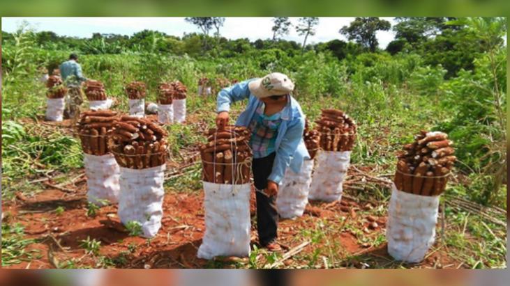 Se amplía la producción de mandioca por gran demanda de almidón