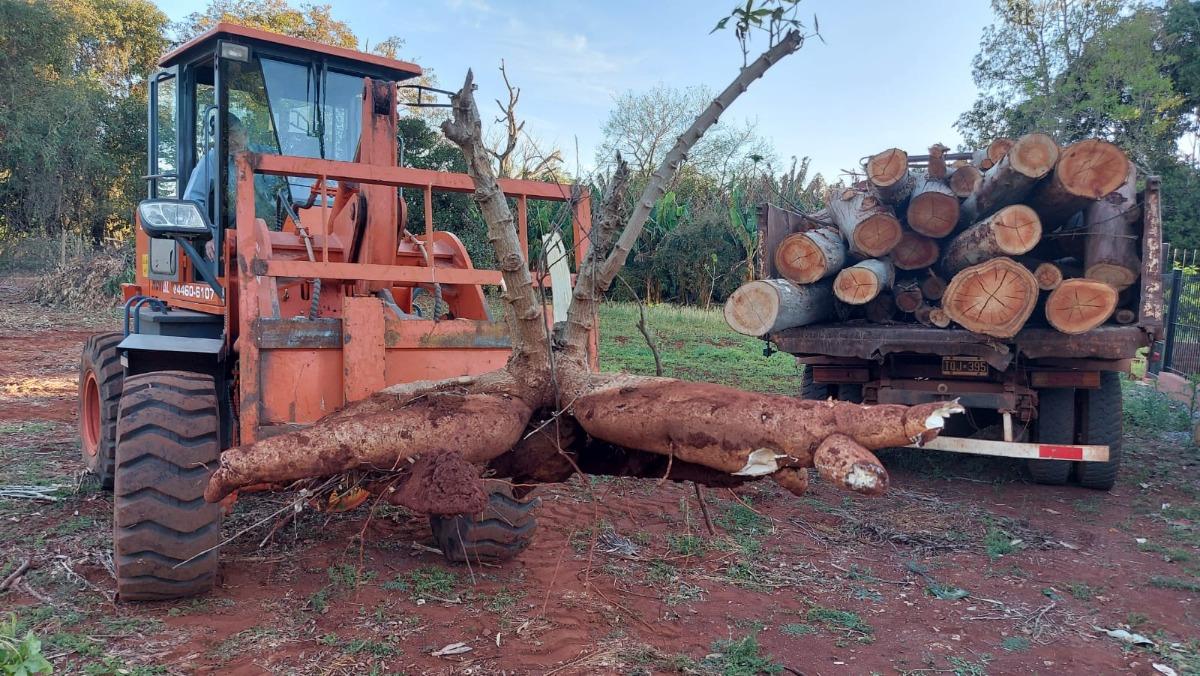 Campo Viera | Una increíble mandioca de 65 kilos tuvo que ser extraída con un tractor y trozada con motosierra: duplica a la promocionada en Corrientes