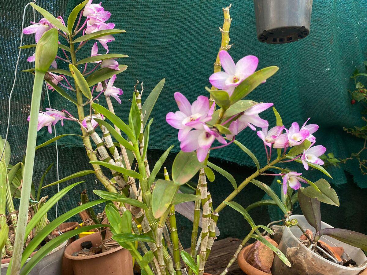 Pasión por las orquídeas: Posadas cuenta con una Asociación de orquideófilos que se dedica al cuidado y concientización de estas flores