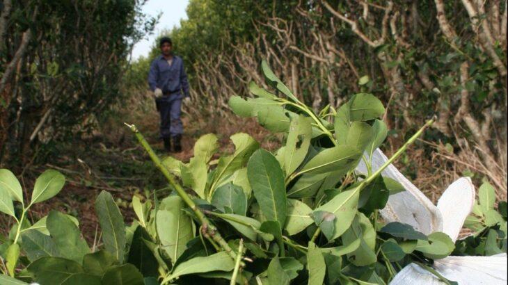 El INYM sigue sin definir el precio para el kilo de la hoja verde de yerba mate