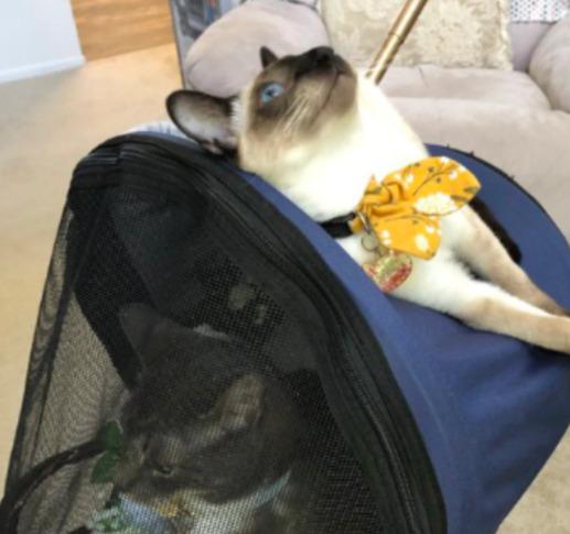 Viral | Un gato fue padrino de una boda y la imagen recorrió el mundo