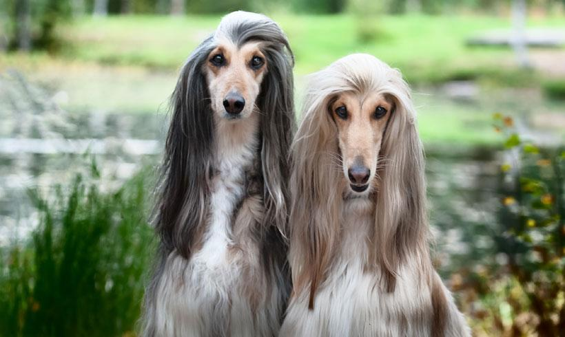 ¿Cuáles son las razas de perros más desobedientes?