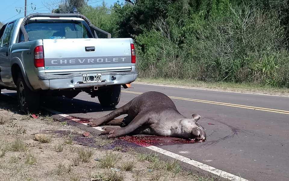 Grave: más de 142 atropellamientos de mamíferos de la fauna misionera ya se registraron en rutas de áreas protegidas este año