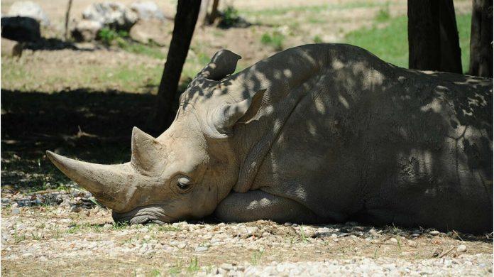 rinoceronte blanco más viejo del mundo